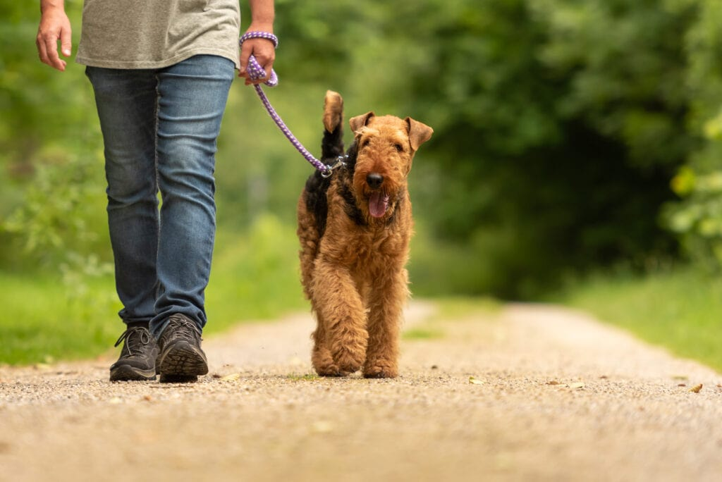 airedale terrier walking on a fantastic loose leash