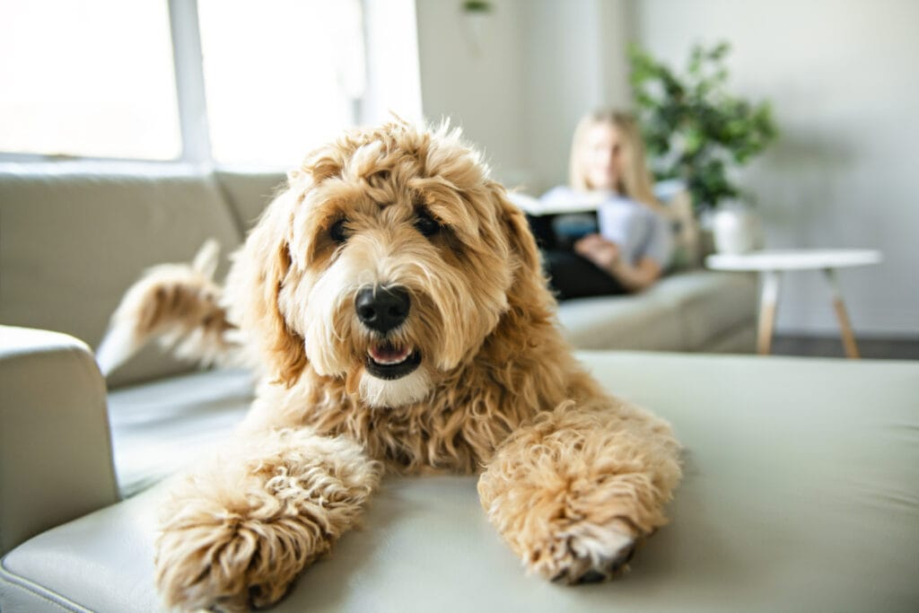 a goldendoodle is poodle and golden retriever to make another cute doodle