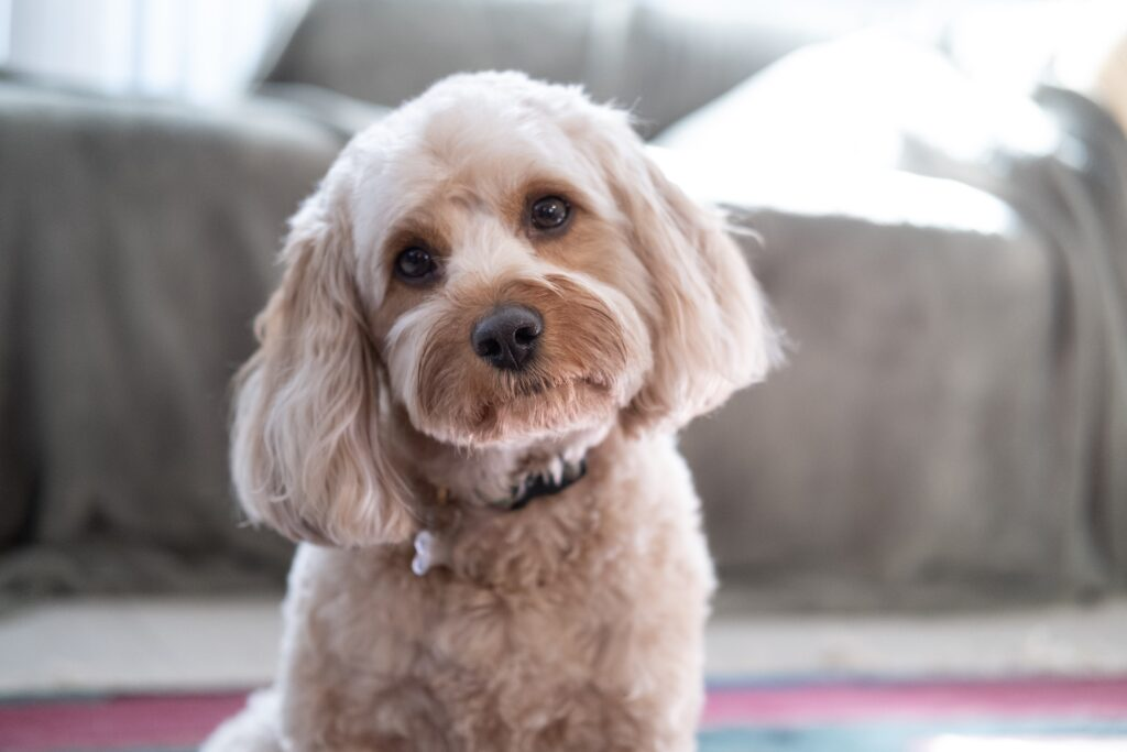 cute little cavapoo, why do people hate doodles again?