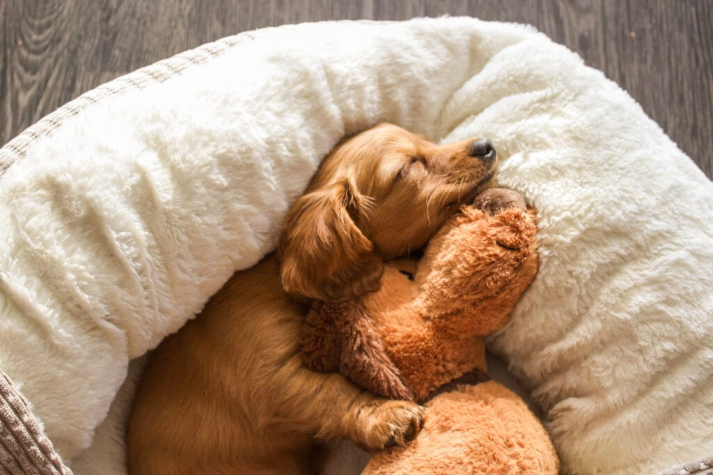 cute puppy sleeping whilst parent is at work