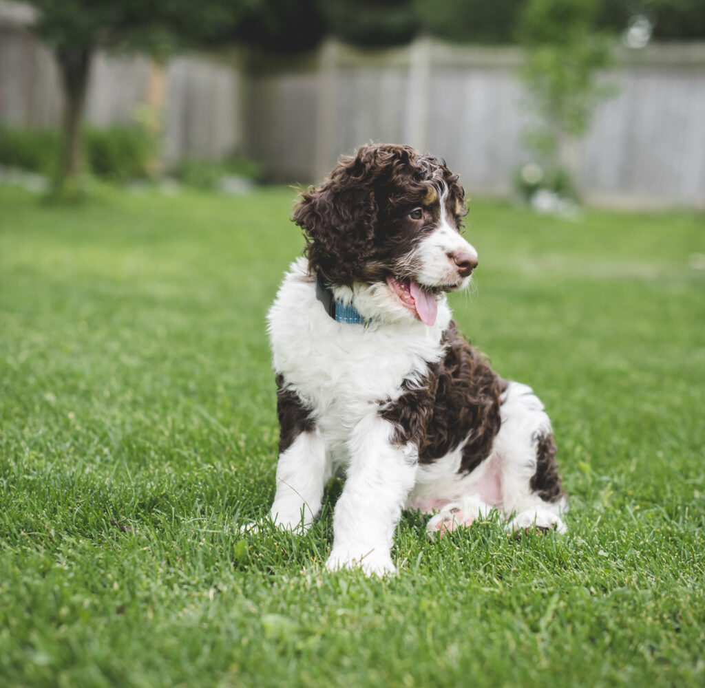 a bernedoodle is one of the many doodle cross (bernese mountain dog and poodle in case you're wondering!)