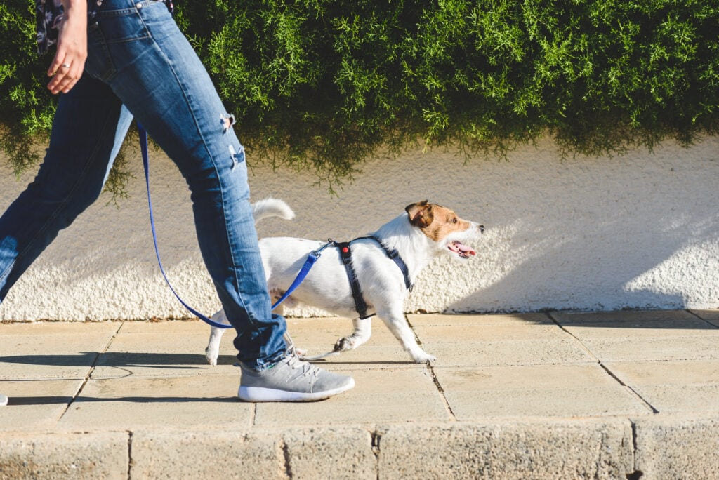 Jack russell not pulling on a leash with his dad.