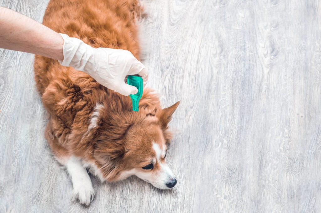 tick treatment being applied to a dog