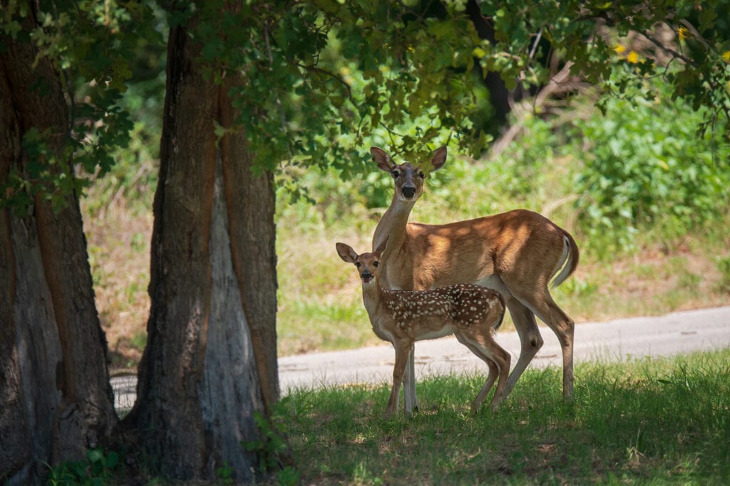 Whitetail deer are often carriers of ticks