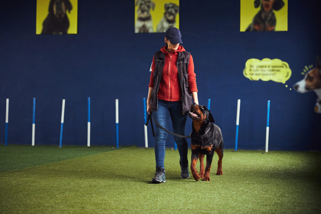 rottie learning loose leash in a training hall