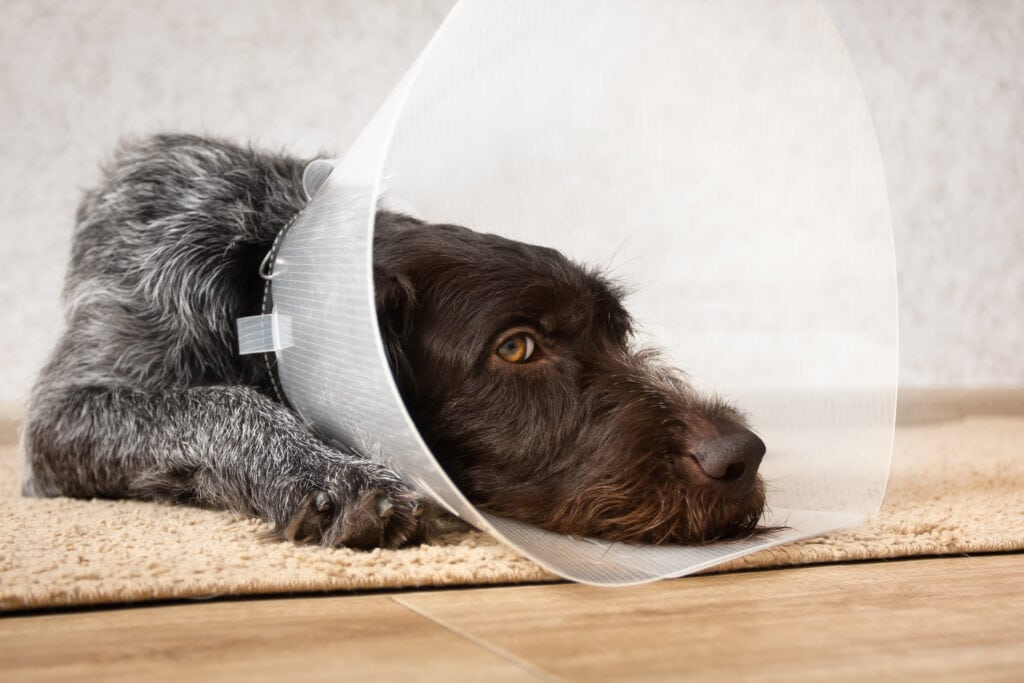 wirehaired pointer in a cone of shame after getting neutered