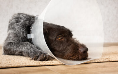 Ultimate FAQ About Neutering Your Dog – 47 Questions Answered.