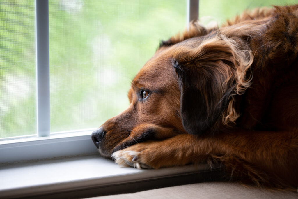 separation anxiety in dogs can come out around the second fear phase