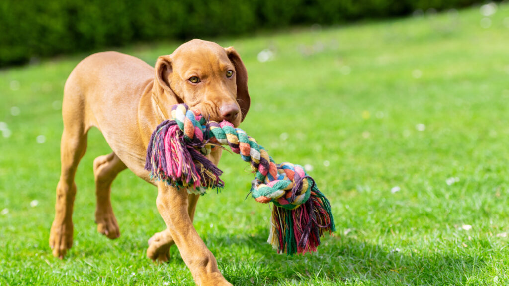 viszla puppy with rope tug toy - post-surgery recovery exercise and entertainment