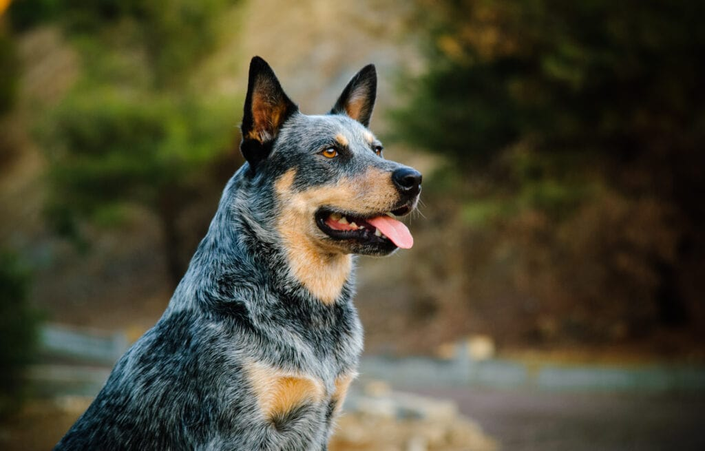 When Should you spay or neuter your Australian Cattle Dog