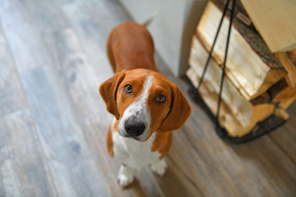 A gorgeous hound dog, a Drever! Another AKC Stock Dog Breed!