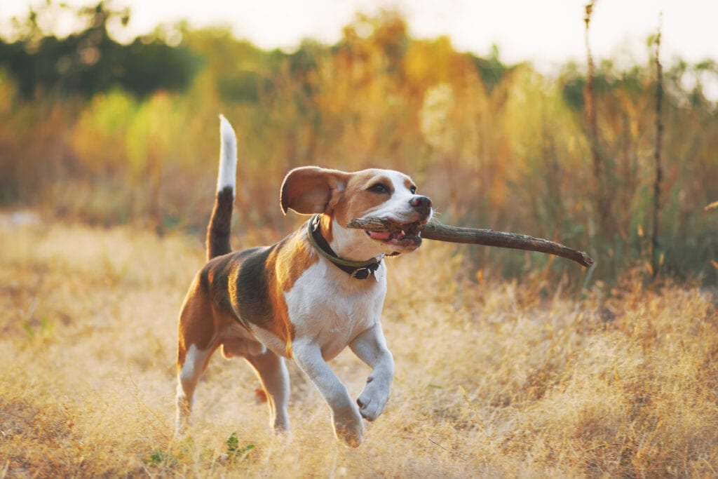 Spaying or neutering a beagle is a big decision, but with beagles being a tough dog to own, it's definitely best that they are responsibly bred