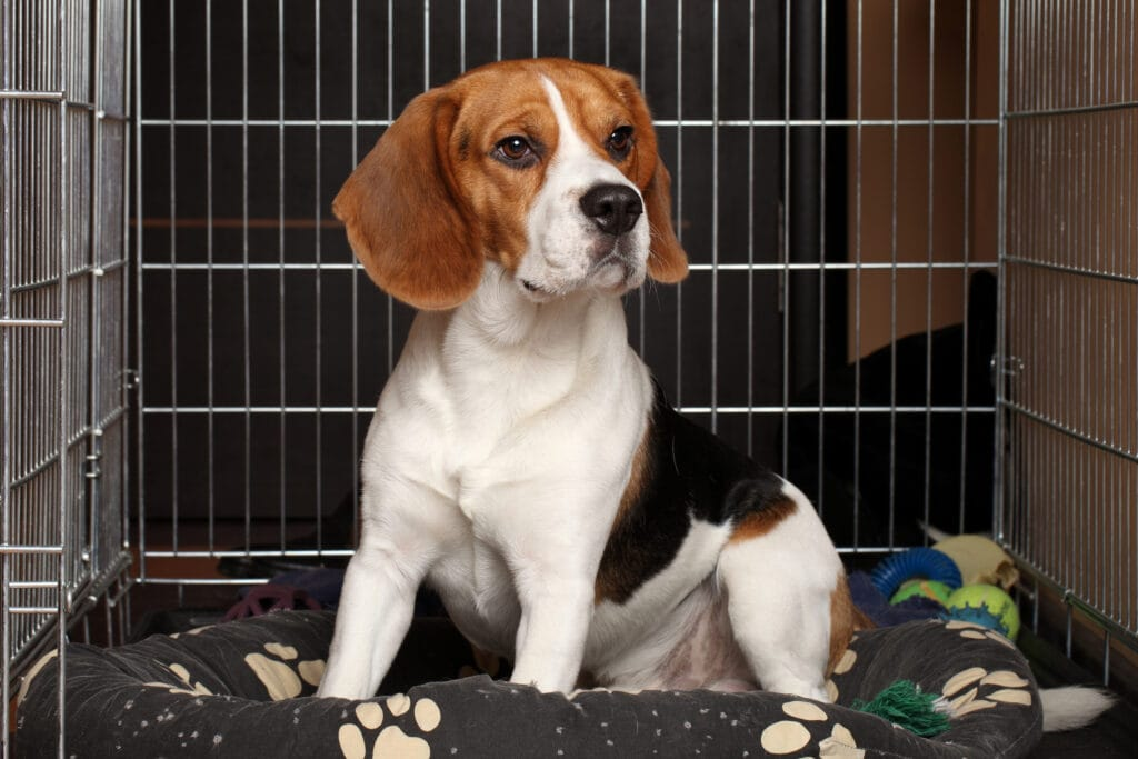 happy crated beagle puppy