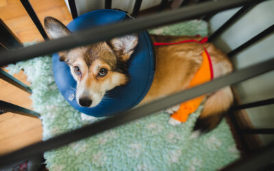 Post-Surgery Recovery: 12 Ideas For Keeping Your Dog Happy And Entertained.