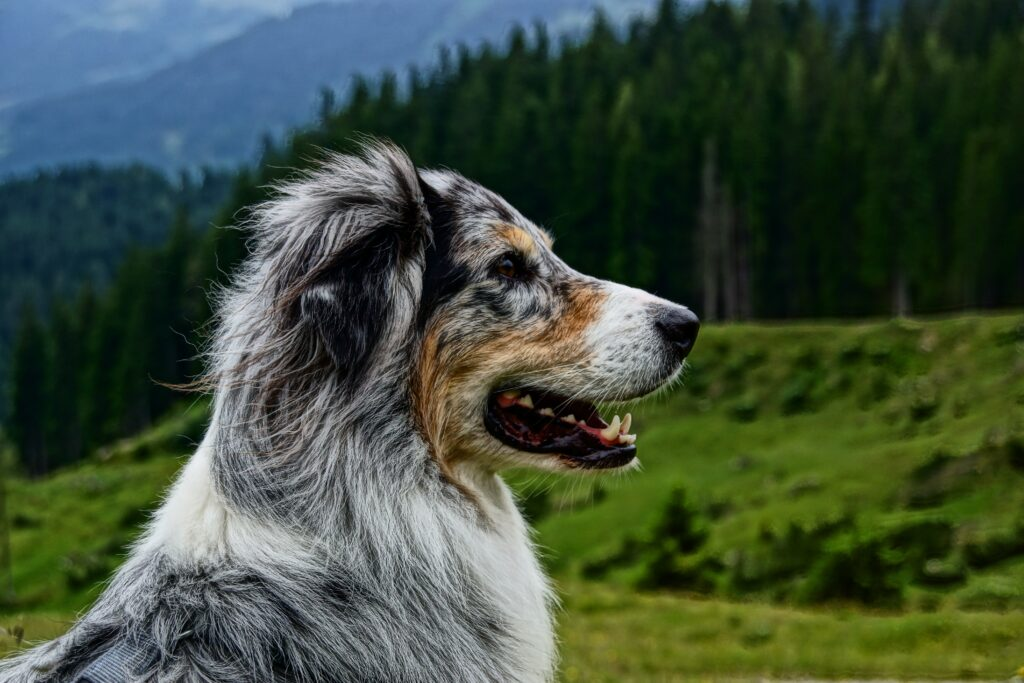 An australian aussie shepherd on wooded mountainous background - spaying and neutering is a big part of consistent freedom