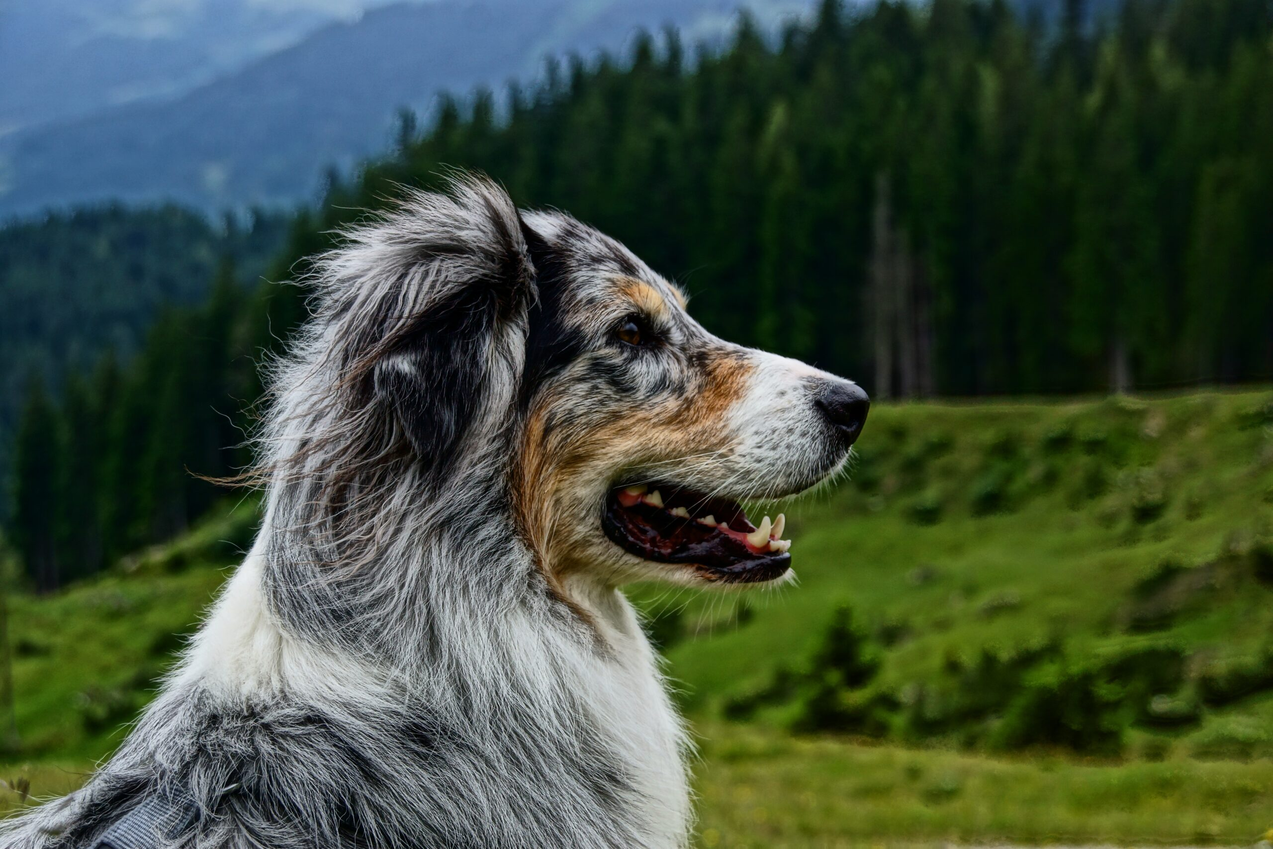 When Is The Best Time To Spay Or Neuter My Australian Shepherd?