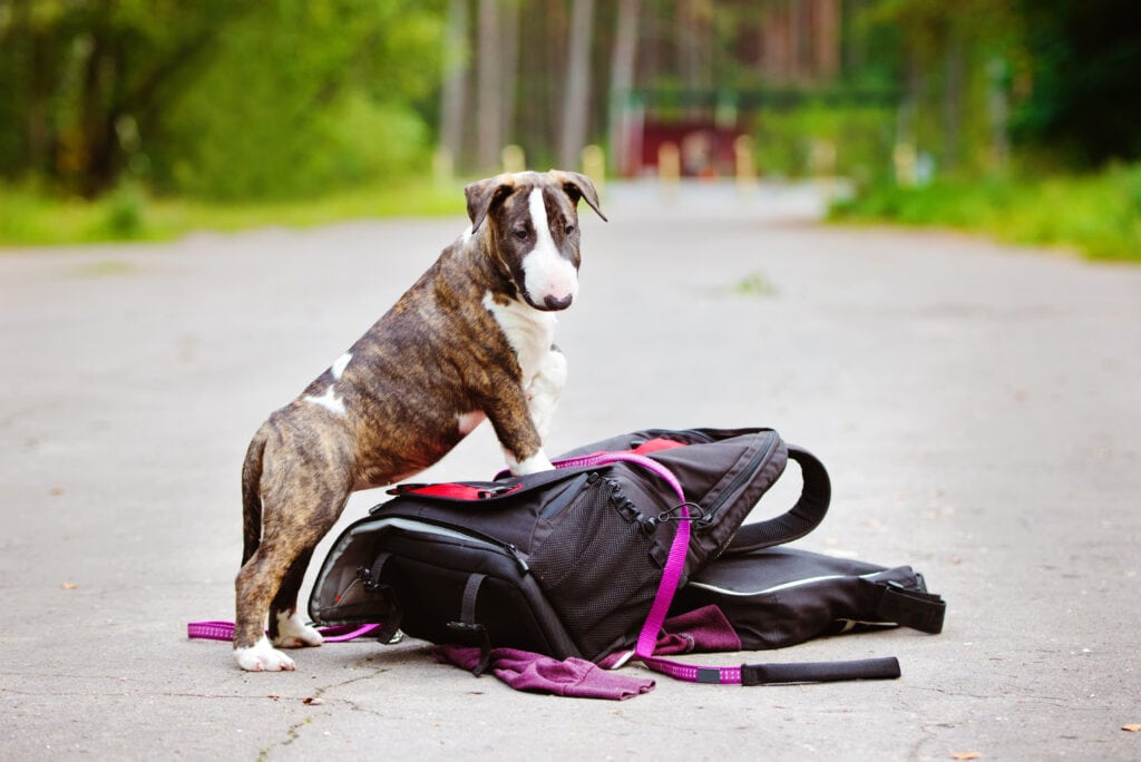 backpack walk with a bull terrier puppy