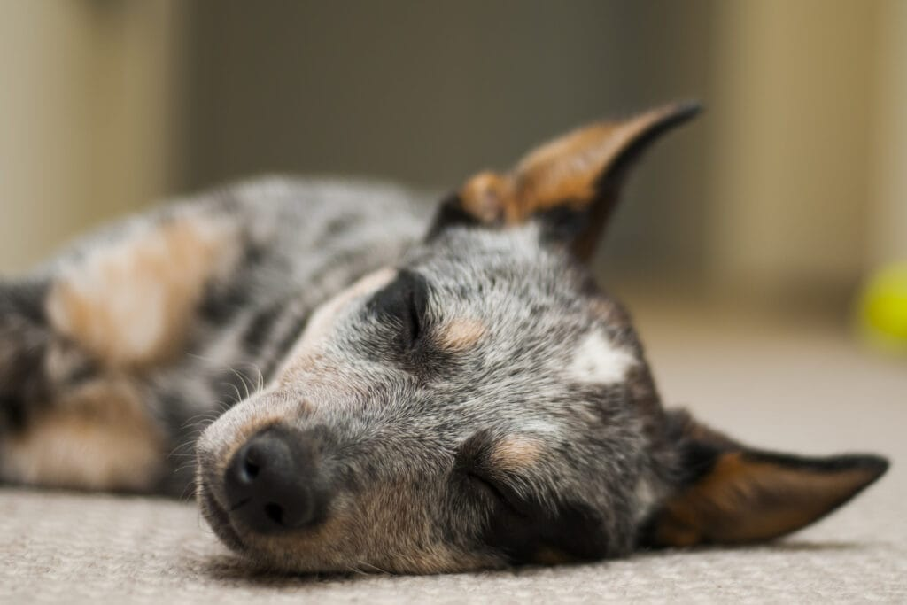 post spay neuter surgery is tough time for your aussie cattle dog, keeping them calm and entertained can feel tough.