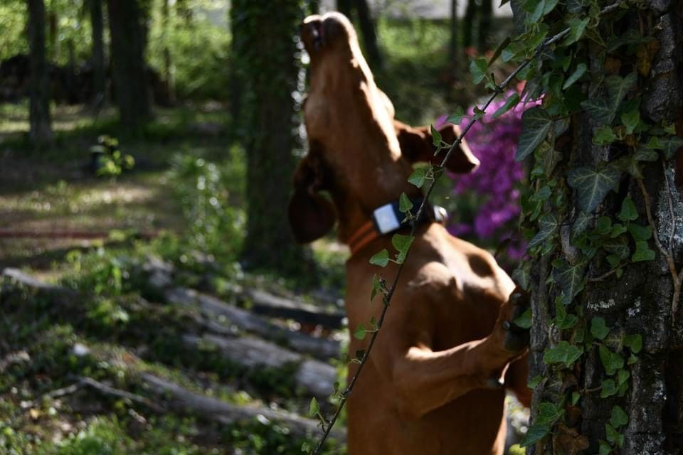 Shelby the redbone coonhound howling up a tree wearing her fi series 2 collar