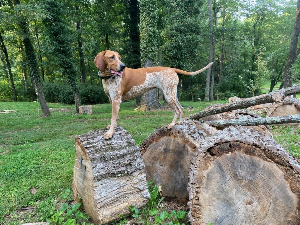 Lucy the rebarkable coonhound standing on tree rounds