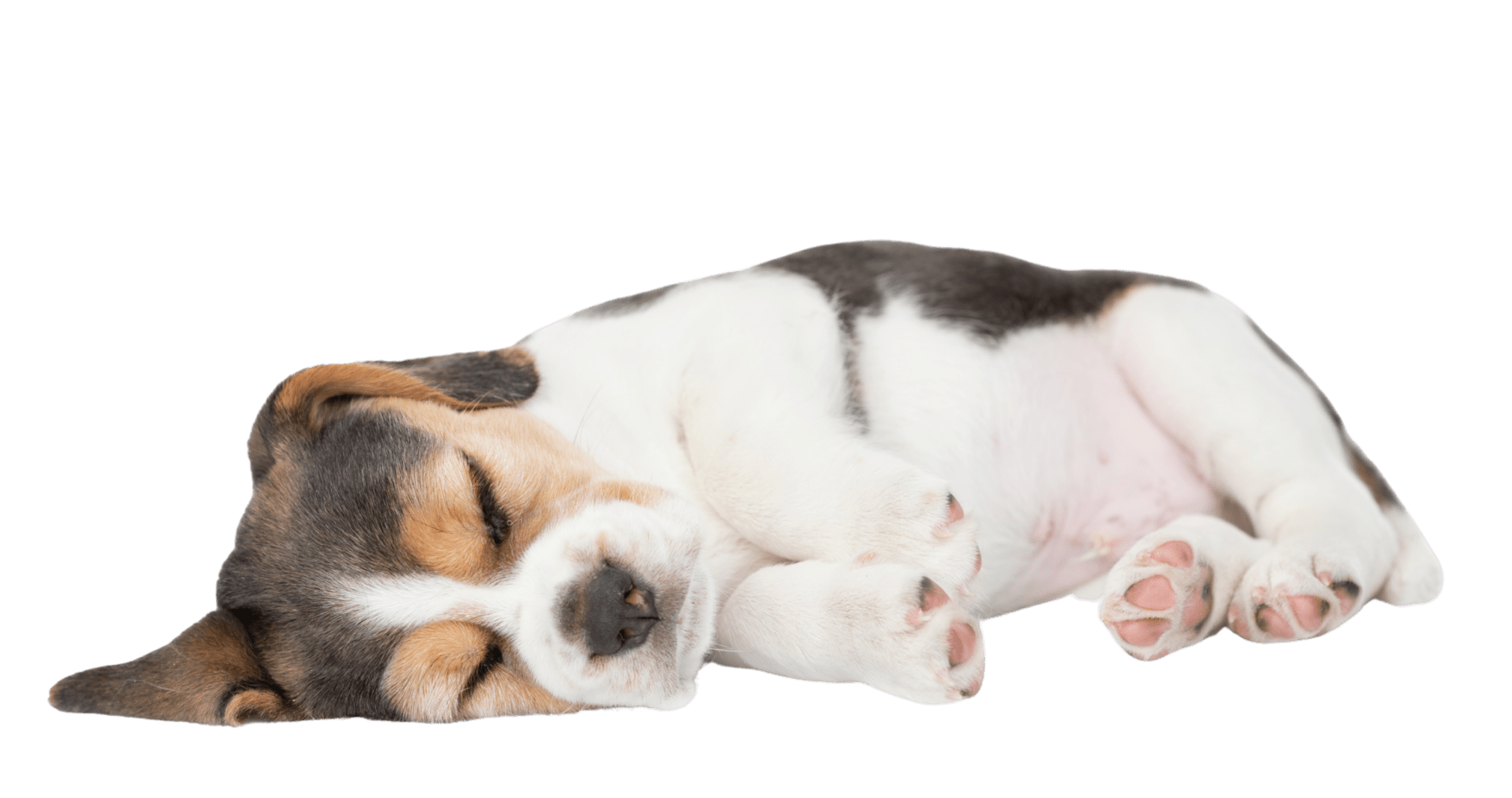 sleeping beagle pup is going to be rebarkable