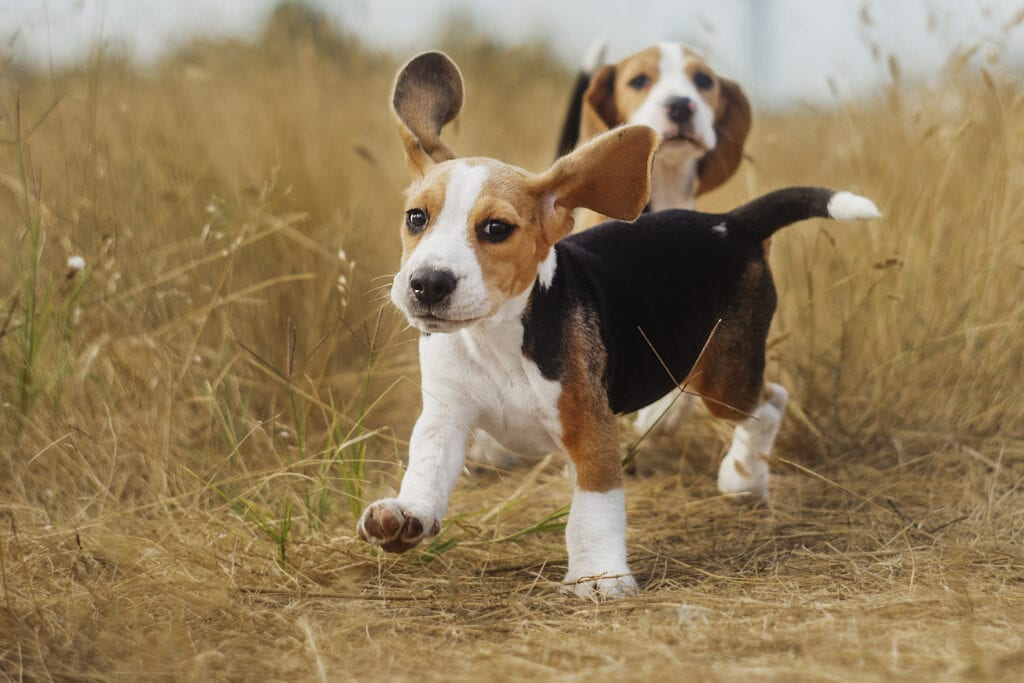 exploring is great for Beagles, before and after a spay or neuter surgery, socialisation is so important for your pup