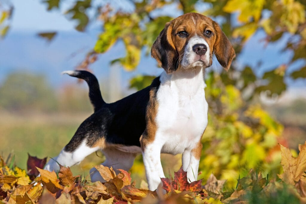 Beagle standing in fall leaves, spaying and neutering is an important consideration of dog ownership