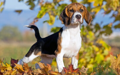 When Is The Best Time To Spay Or Neuter My Beagle?