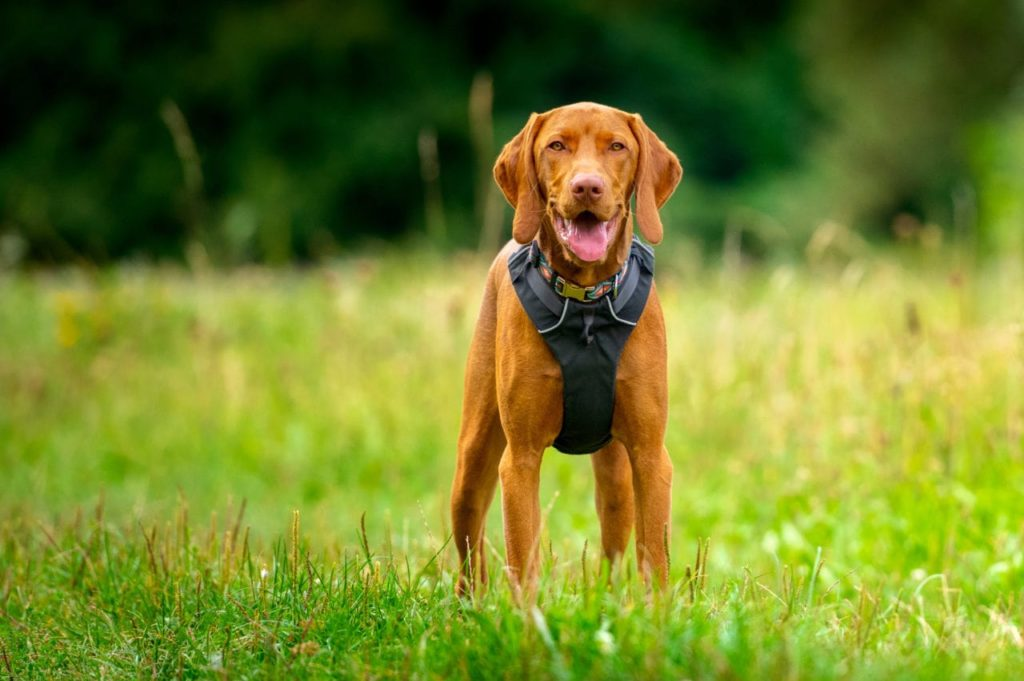 Vizsla breed pictured in a ruffwear front range, notice the narrowness on the chest here