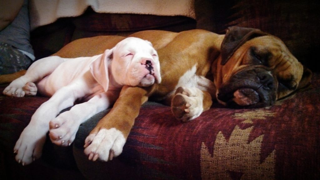 an older dog can be a great influence on helping your pup sleep through the night.