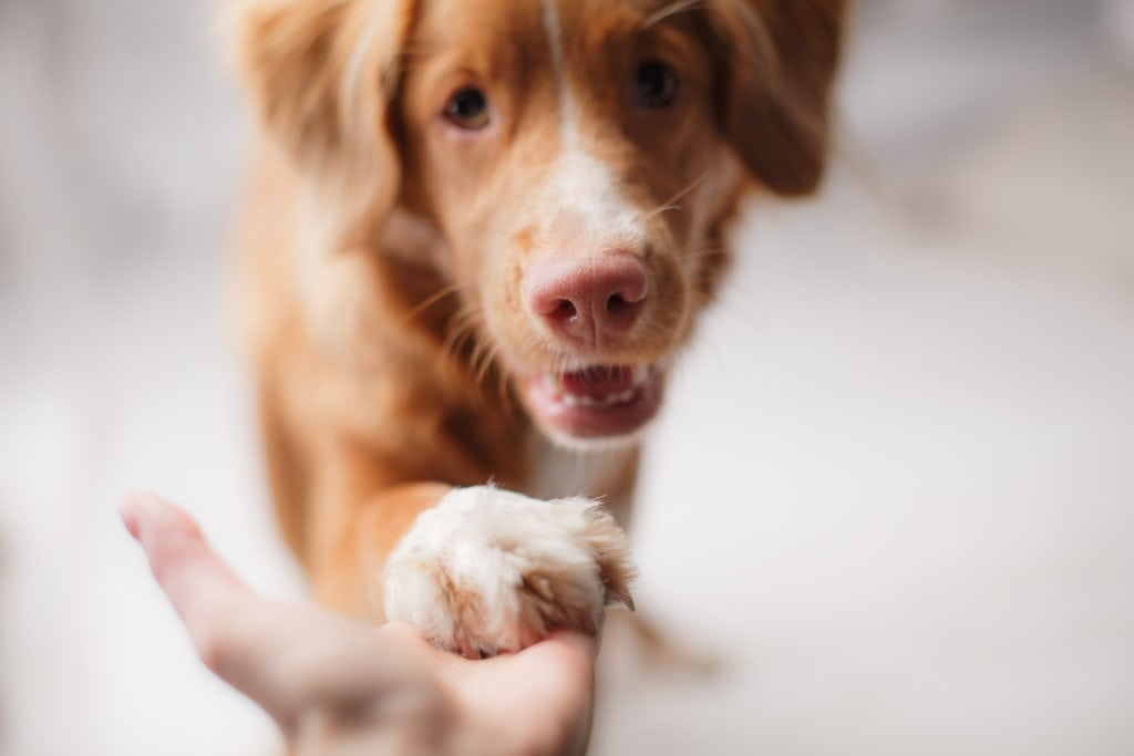 people who can help with the puppy blues - duck tolling retriever giving paw