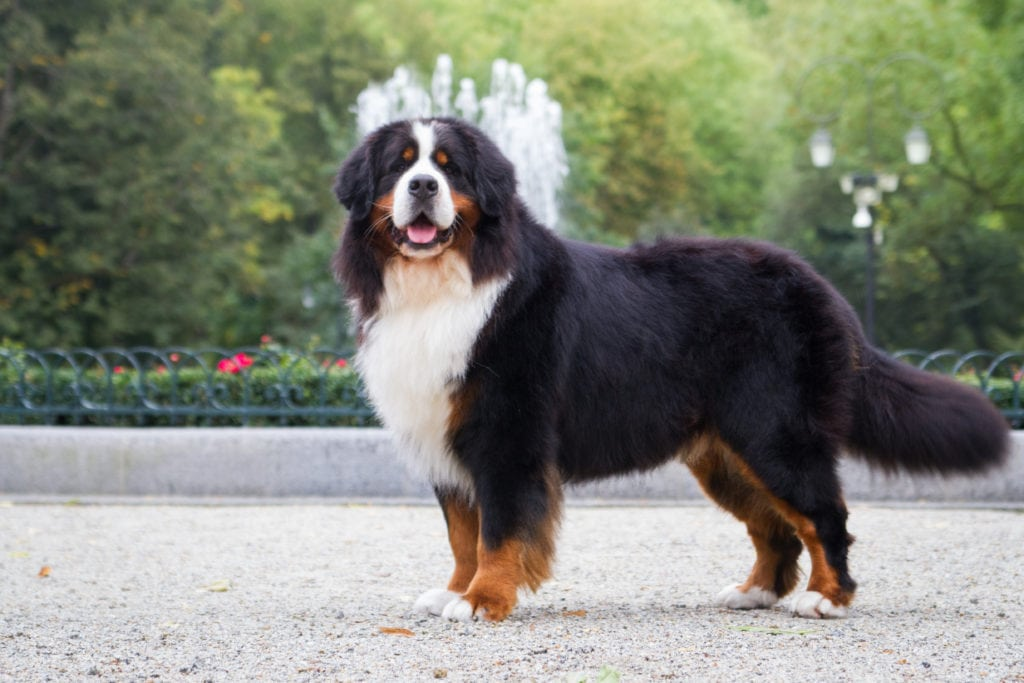 When should you spay or neuter your Bernese Mountain Dog