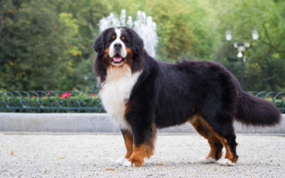 When Is The Best Time To Spay Or Neuter My Bernese Mountain Dog?