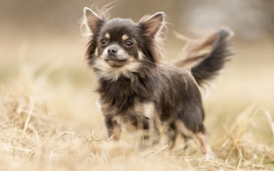 When Is The Best Time To Spay Or Neuter My Chihuahua?