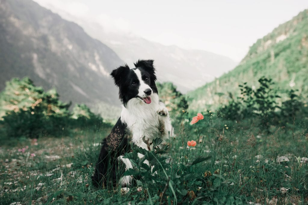 exploring is great for Border Collies, before and after a spay or neuter surgery, this is so important for your pup.