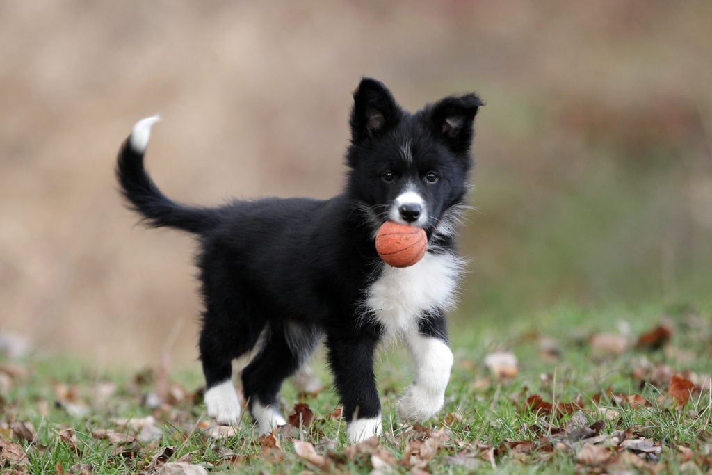 border collie playing with ball whose mum is wondering when is best to spay or neuter