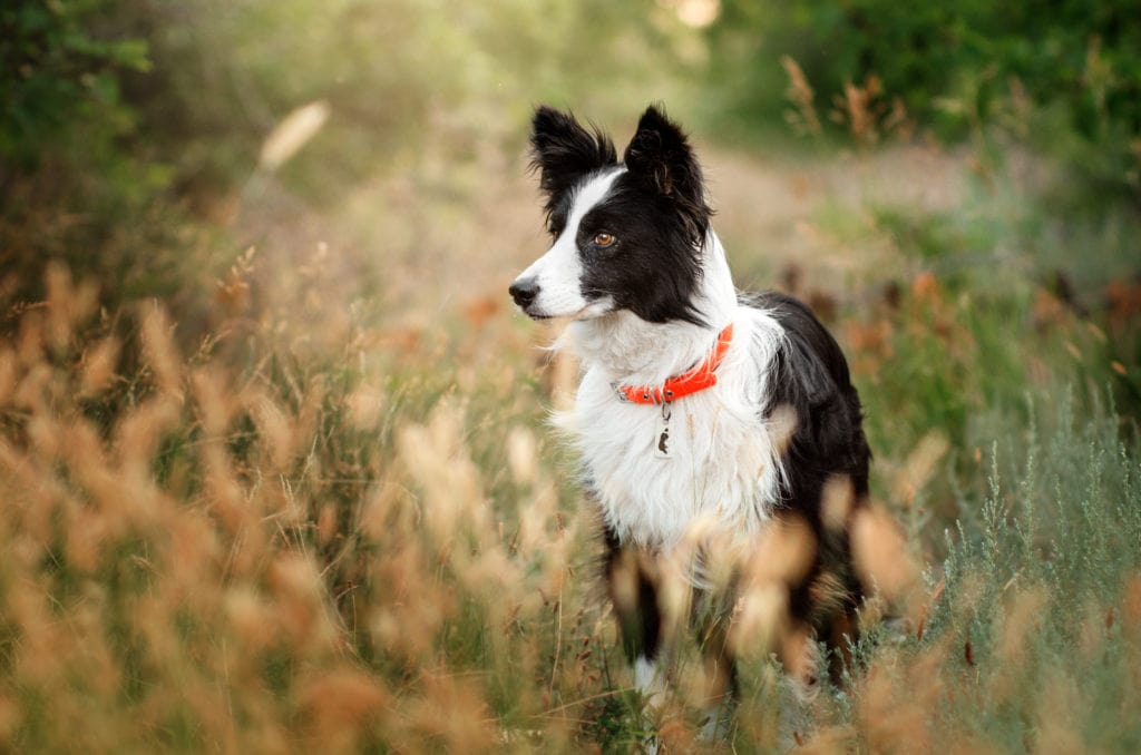 When should you spay or neuter your Border Collie