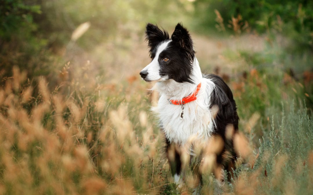 When Is The Best Time To Spay Or Neuter My Border Collie?