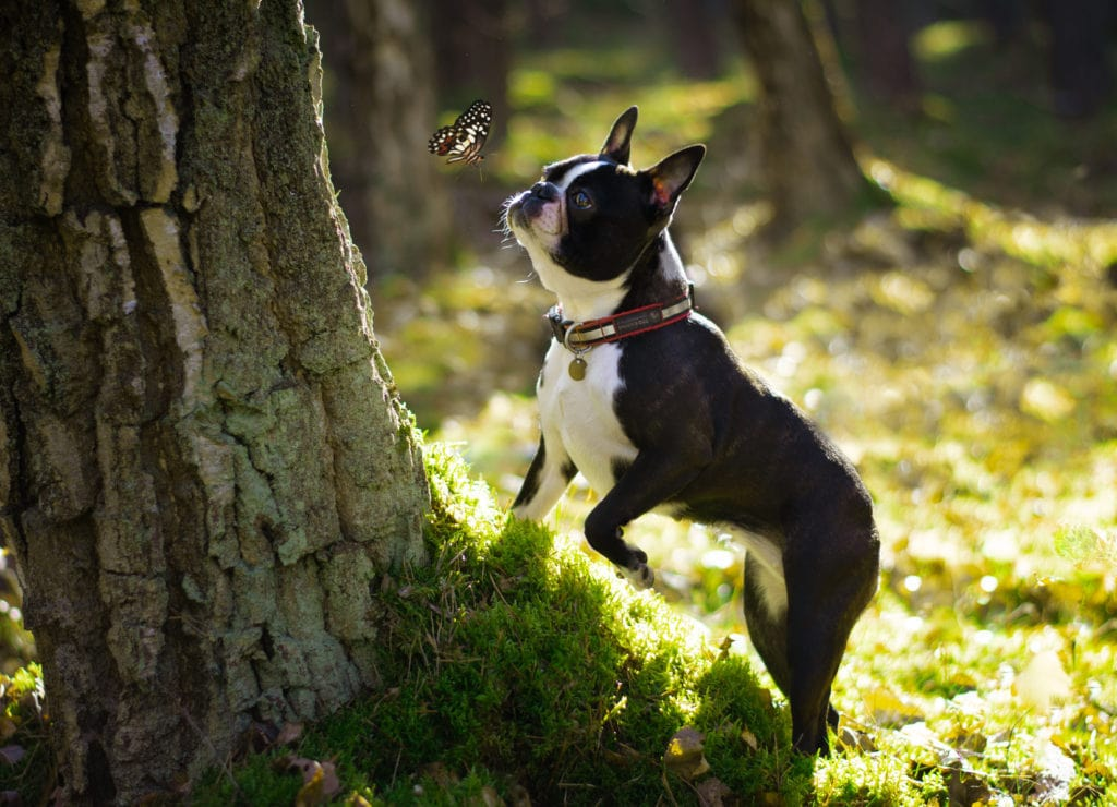 Spaying or neutering a Boston Terrier is a big decision ,it's definitely best that they are responsibly bred