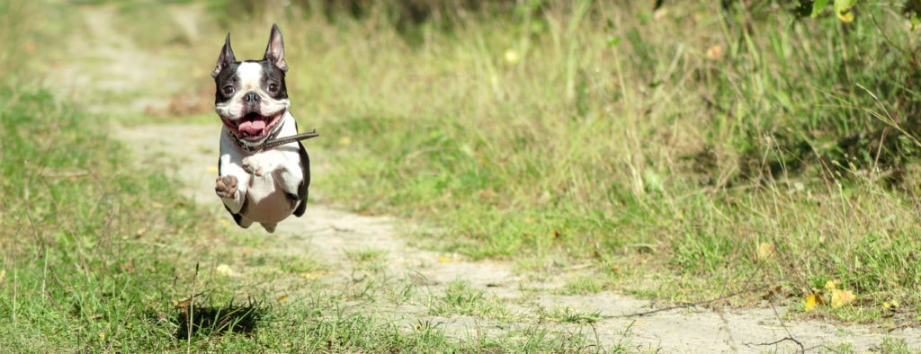 Spaying or neutering a Boston Terrier is a big decision, it's best that they are responsibly bred