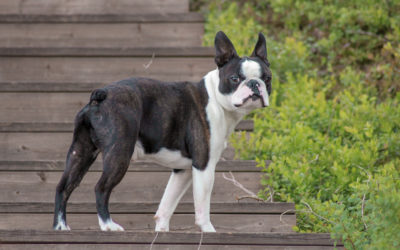 When Is The Best Time To Spay Or Neuter My Boston Terrier?