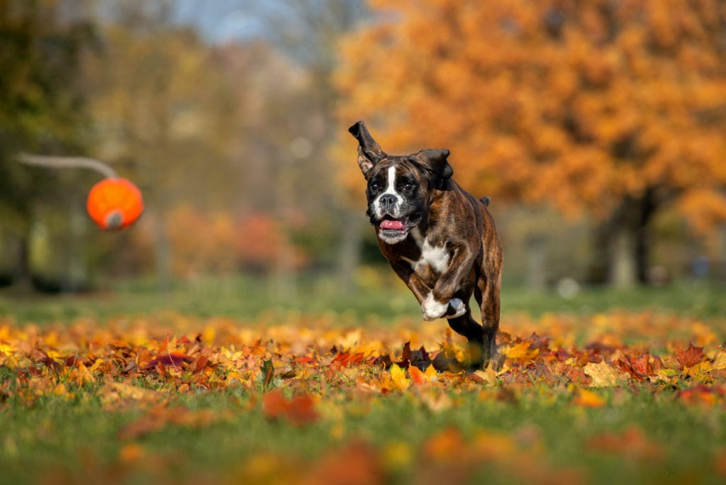 Boxer running in field playing ball