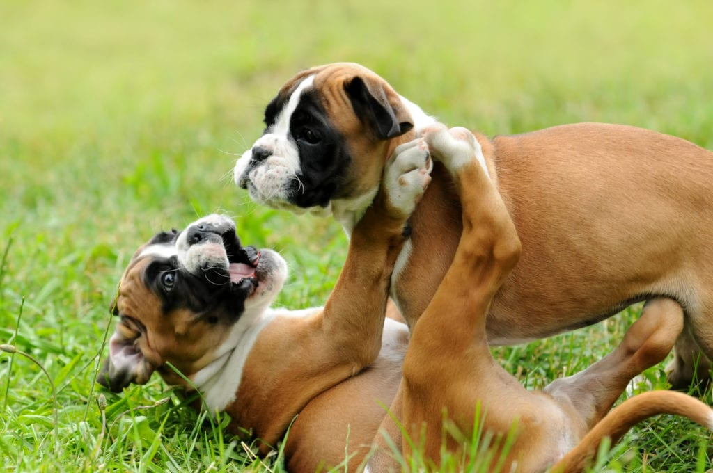 2 Boxer puppies playing
