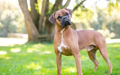 When Is The Best Time To Spay Or Neuter My Boxer?