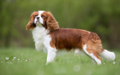 When Is The Best Time To Spay Or Neuter My Cavalier King Charles Spaniel?