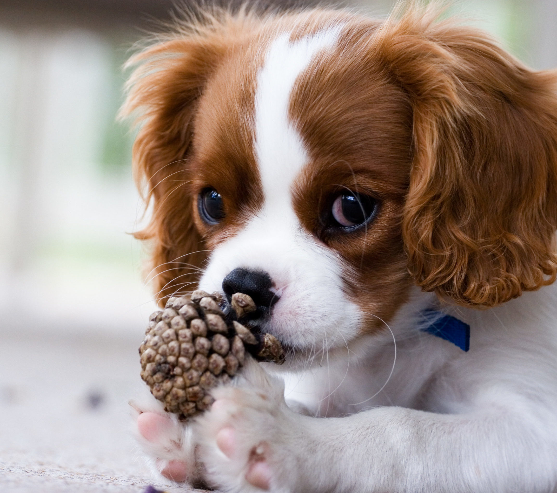 cute little cavalier puppy and a pinecone